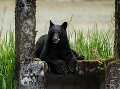 Game of Thrones (T0nyJ0yce) Tags: wild blackbear boar animals wildlife ursusamericanus cute gameofthrones chillin relaxed hanginout rocky resilient bear mammals canon7dmarkii tamron150600 explore