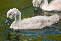 cygnets feeding july 2016 (brazier305) Tags: nature swan wildlife cygnet dorset aquatic avia riverstour tamron500mmmirrorlens stourvalleynaturereserve july2016