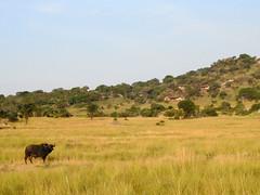 File090 (David Bygott) Tags: africa tanzania serengeti buffalo kopje