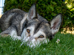 can these eyes lie? (d@neumi) Tags: hund dog siberian husky siberianhusky animal tier bokeh schrfentiefe panasonic lumix g7 haustier