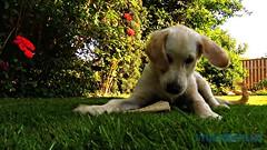 Detta var ett roligt ben! (J Tube-Films) Tags: scooby st leker busig busar golden retriever valp valpar hund hundvalp dog cute puppy rrelse