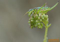 Grillo (avi_olmus) Tags: grillo apilado lesmarines verano focusstacking insecto macrofotografa santllorensavall catalua espaa es