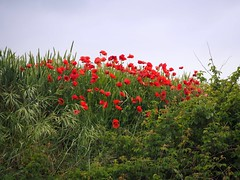 Amapolas (Asun Idoate) Tags: nafarroa amapolas trigo primavera