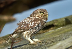 Little Owl (charlie.syme) Tags: nikon little wildlife northumberland