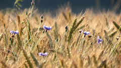 field: gold and sapphires (All Shine) Tags: light summer plants colors field cornflowers