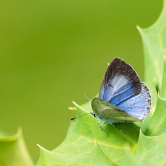Boom Blauwtje (Lucin Reyns) Tags: butterfly vlinders zeeuwsvlaanderen pentaxk1 da300mm summer zomer boomblauwtje