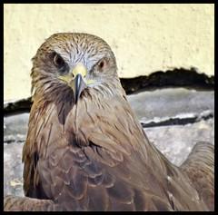 Pariah Kite (Indianature14) Tags: indianature nature india maharashtra mumbai bombay july 2016 citybird birdsofbombay bird pariahkite raptor kite