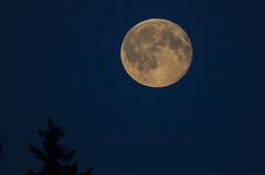Blue Moon (Carolin de Verdier) Tags: fullmoon bluemoon moon sky trees sweden stockholm fullmne blmne sverige trd himmel mrsta gottrra