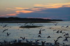 Settling In (PNG441) Tags: capecod seagulls ocean sunset gull landscape bird wildlife outdoors massachusetts seagull coast flock atlanticocean