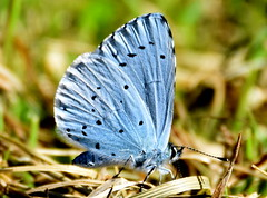Shimmering Blue. (pstone646) Tags: nature butterfly blue insect animal fauna wildlife kent ashford closeup bokeh