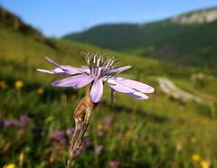 Purple viper's grass (Scorzonera purpurea) (andraszambo) Tags: scorzonera purpurea plant flower smell coconut fragrance blumen transilvania erdély pirospozdor pozdor red species