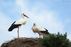 Two storks (Cloudtail the Snow Leopard) Tags: storch zoo basel tier animal vogel bird weis white stork ciconia adebar nest