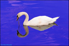 The Royal Swan - Explored No5 July 2016 (Photon Star) Tags: swan water blue white purple
