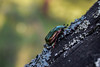 Protaetia (Potosia) fieberi ssp. boldyrevi Jacobson, 1909 (sotnik_on) Tags: protaetia rosechafer macro cetoniinae scarabaeidae scarabaeoidea aerugenosa fieberi naturalhistory nature forest ukraine poltava rassoshentsy fieldwork beetles бронзовка энтомология жук entomofauna entomology ecology coleoptera coleopterology
