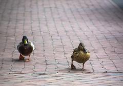 Duckwalk (Nihil Baxter007) Tags: ducks duckwalk duck ente entengang tiere tier animals animal street strase pavement brgersteig crossing queren