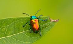 7K8A3890 (rpealit) Tags: scenery wildlife nature east hatchery alumni field hackettstown leaf dogbane beetle