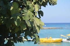 Fig Tree Bay, Protaras, Cyprus (matziarielena) Tags: beach fig trees nature summer figs sea