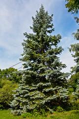 _DSC6805.jpg (camlaque) Tags: voyage canada 2016 montral arbre nature