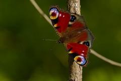 DSCF0148 (faki_) Tags: fuji fujifilm xe1 fujinonxc50230mmf4567ois 50230 rovar insect lepke butterfly