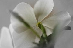 IMG_1983.jpg (xaly87x) Tags: flower petals whiteflower white buds plant periwinkle apocinacee macro