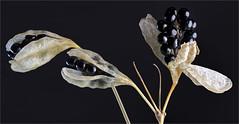 Iris Domestica (ioensis) Tags: iris domestica blackberry lily seed pods macro garden september 2016 86292005067tmf1bjohnlangholz2016 jdl ioensis