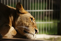 DSC03305 (hofferp) Tags: animallove animalphotos animals zoobudapest zoolife hungary sostozoo sonya300 sonydslr sonycam tiger whitelion littlepanda katta lion zebra orangutan