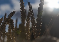 A while ago... (Monika Humpage) Tags: summer sunny fields sunshine wheat