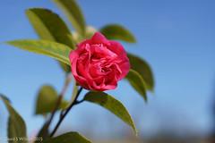 Camellia (David S Wilson) Tags: uk pink england floral camellia mygarden 2015 davidswilson lightroom5 sonysel35f18 sonya5100