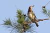 Chestnut-cheeked Starling D4A9354.jpg (BobLewis) Tags: bali birds indonesia sturnidae seranganisland chestnutcheekedstarling 181starlings agropsarphilippensis