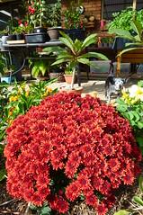 Dwarf Chrysanthemum (dgardenia) Tags: dahlia dog pet macro home garden seeds mums mum frangipani geranium chrysanthemum seedling dahlias alyssum snapdragon diascia nemesia duranta geishagirl durantarepens