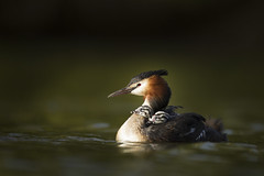 Great Crested Grebe with Chicks (Daniel Trim) Tags: back great young riding chicks crested grebe podiceps cristatus