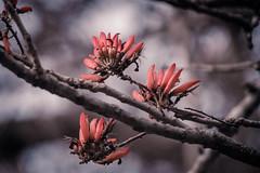 Coral Tree (Dari_Extension) Tags: flowers tree coral