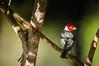 "Redcowled Cardinal <a style=""margin-left:10px; font-size:0.8em;"" href=""http://www.flickr.com/photos/41134504@N00/16728904963/"" target=""_blank"">@flickr</a>"
