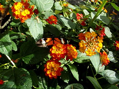 Heliconius Doris (twacar) Tags: flowers insects dorislongwing butterfliesgofree bugs butterflies plants mainexhibitgreenhouse montreal montrealbotanicalgarden