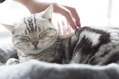うな子 (mijabi) Tags: cat canon americanshorthair 猫 6d ぬこ eos6d unako アメショー うな子 アメリカン・ショートヘア unaco シルバータビー