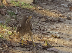 White Eyeed Buzzard (Nimish_kane) Tags: india bird photography nikon wildlife raptor di 70300mm birdwatching vc usd pench wls indianbirds d3300 tamron70300divcusd isotestnikond3300