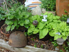 H. 'Irish Luck' - 'August Moon' - 'Midas Touch' - 'Sun Power' (moccasinlanding) Tags: hosta midastouch sunpower augustmoon containergardening mobilealabama irishluck