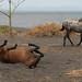 Cavalos na ilha