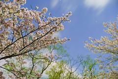 PhoTones Works #6563 (TAKUMA KIMURA) Tags: japan night cherry landscape spring scenery natural blossoms     kimura      takuma   a7s photones