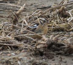 IMG_5207-2 Smith's Longspur (John Pohl2011) Tags: bird canon john 100400mm pohl perching t4i 100400mmlens canont4i