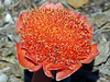 Haemanthus coccineus / April Fool (Proteus_XYZ) Tags: southafrica südafrika westerncape overberg aprilfool capeagulhas haemanthuscoccineus westlichekapprovinz capeagulhasnationalpark rasperpunthikingtrail