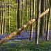 Bluebells bloom in the Hallerbos