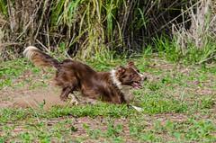 Kyra (mcvmjr1971) Tags: dog ex brasil speed fun jump nikon collie play sopaulo border fast cachorro f4 sigma100300mm itatinga d7000 mmoraes sigma150mmfazendanirvana