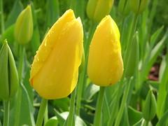 IMG_5878 (Gkmen Kmrt) Tags: tulips tulip 2014 emirgan laleler