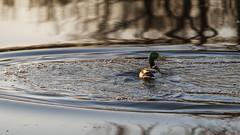 HairpinTurn (jmishefske) Tags: park nature water wisconsin turn franklin pond nikon waves center milwaukee april mallard drake hairpin wehr 2015 whitnall mallardlake halescorners d800e