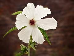 love and peace !!! (1686) (oksana8happy) Tags: white flower australia hibiscus wildflower westernaustralia australiannativeplant hibiscusmeraukensis meraukehibiscus