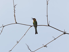 Chestnut-headed Bee-eater (Oleg Chernyshov) Tags: chestnutheadedbeeeater meropsleschenaulti meropsleschenaultileschenaulti