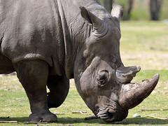 Ceratotherium simum (JGOM) Tags: netherlands zoo arnhem nederland burgers burgerszoo dierentuin dierenpark burgersdierenpark