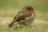 Robin (Shane Jones) Tags: bird robin nikon 200400vr d7000