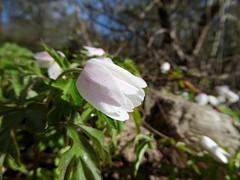 Wild Garlic (timbo on the hill) Tags: spring wales wrexham dxo panasonic tz60 zs40 garlic flower wild nantmill coedpoeth macro 500px